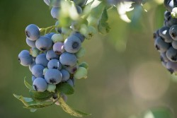 Healthy, sweet blueberries are a favorite in Pacific Northwest gardens. Photo by Lynn Ketchum